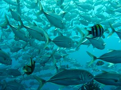 Crowd (DrTH80) Tags: bali fish indonesia crowd scuba diving indonesien bigeye caranx sexfasciatus trevallys