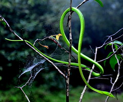 Green Vine Snake (@mons.always) Tags: travel nikon rainforest snake animalkingdom herps agumbe d90 greenvinesnake