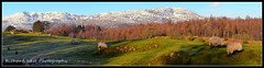 Sheep grazing on Grizedale, overlooking Coniston Old Man (ninja gecko) Tags: morning winter mountain snow grass forest spring sheep peaceful calm relaxed grazing