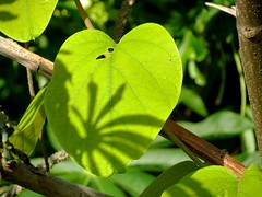 Green (carlos_ar2000) Tags: shadow naturaleza plant verde green planta hoja nature argentina leaf buenosaires sombra costanerasur