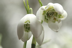 Worms eye view of spring (neals pics) Tags: park white flower macro nature fleur canon garden 50mm spring flora wildlife perspective day52 snowdrop nowtonpark day52365 awesomeblossoms optekamacrofilter 3652013 365the2013edition 21feb13