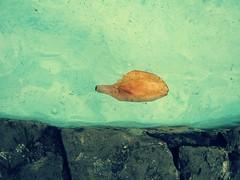 Y ahi estaba yo... (mayavilla) Tags: espaa pez hoja agua galicia fuentes acorua ordes