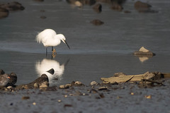 untitled-1717.jpg (Tim Geary) Tags: bird nikon lough little birding egret d800 larne islandmagee digiscope ballycarry