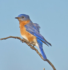 Daddy II (Lindell Dillon) Tags: oklahoma nature birds canon raw bluebirds eos7d hallbrooke reddirtpics bluebirddiary
