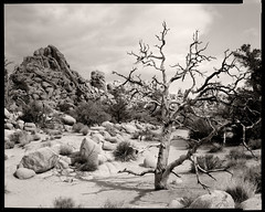 Dead Tree in Hidden Valley (Daniel P. Perez) Tags: deadtree hiddenvalley ebony juniper gitzo joshuatreenationalpark rodenstock arista aristaultra100 kodaktmaxrs rw810 gt5541ls