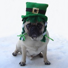 Funny Pug St. Patrick's Day (DaPuglet) Tags: irish dog pets holiday cute green dogs costume spring funny lol humor patrick pug card pugs stpatricks greeting pugcostume