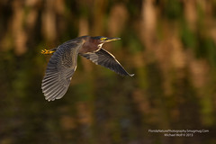 Green Heron in flight - 1432 (floridanaturephotography) Tags: backup florida 1dx canonnature 5d3
