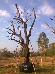 ต้นพะยอม2