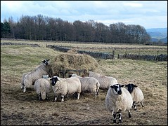 Hay Time (white swan1) Tags: park camera morning its for sheep time sunday next hay stroll 24th nearly heaton 10am