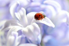 Spring Garden [Explored] (pallab seth) Tags: park blue flower macro london am spring artistic bokeh 11 sp di ladybird af ladybugs 90mm ladybirds quotthe f28 hyacinth coccinellidae sevenspot explored quottamron springquot quotlady lensquot pallabseth quotsign beetlesquot quotcoccinella septempunctataquot ladybirdquot