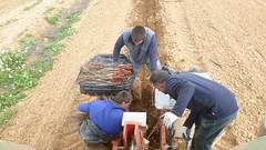 0012VIÑEDOS-plantar-injertos-(22-3-2013)-P1020014 (fotoisiegas) Tags: viticultura viñas viñedos cariñena plantar injertos fotoisiegas lospajeras