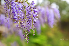 Wisteria (Jennifer ) Tags: park pink flowers light plants plant flores flower color macro green nature colors leaves closeup zeiss garden petals flora nikon dof purple image blossom bokeh natur taiwan bloom sakura  makro garten wisteria   carlzeiss zf    fantasticflower colourartaward  macroflowerlovers awesomeblossoms carlzeissmakroplanarmacro100mmf2zf2