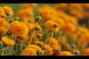 الــورده الـلـي تعـلـت فـــوق كـــل الـزهــر (Abdullah Al-Sharedh) Tags: flowers roses flower rose canon eos 50mm 7d mm f18 50 ef beautifully لقطات صور وردة الصور زهرة كل ورد صورة صوره اللي فوق ورده الوردة جميلة رائعة الورده زهر الزهره الورد كانون جميله زهره رائعه دي لقطه رائحة رائحه الزهر الزهور الزهرة ٧ تعلت ٧دي اعتلت