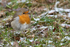 Local Robin (Geographyman) Tags: bird nature robin wildlife groundfeeder canon5dmkii canon70300mml