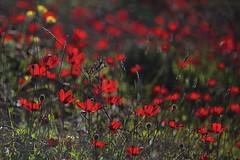 Anemone (lentina_x) Tags: anemone