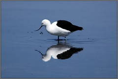 Reflection (helkifoto) Tags: chile blue naturaleza reflection bird southamerica nature birds animal animals desert wildlife atacama vgel vogel sbelschnbler recurvirostraandina thewonderfulworldofbirds helkifoto