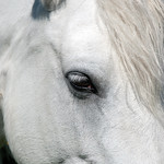 "Connemara Pony <a style=""margin-left:10px; font-size:0.8em;"" href=""http://www.flickr.com/photos/89335711@N00/8596655318/"" target=""_blank"">@flickr</a>"