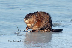 Muskrat on Ice (jannagal) Tags: lake ice nature water mammal rodent michigan wildlife muskrat lakestclair amimal ondatrazibethicus canon60d jannagal lakestclairmetropark jannagalski
