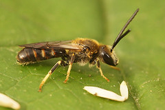 Geurgroefbij - Lasioglossum albipes / calceatum (henk.wallays) Tags: