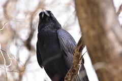 Australian Raven (Luke6876) Tags: bird animal wildlife raven corvid australianwildlife australianraven