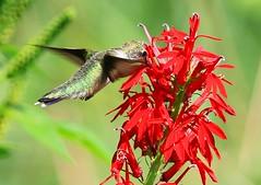 ruby-throated hummingbird female nectaring on cardinal flower near Lime Springs IA 854A7312 (lreis_naturalist) Tags: rubythroated hummingbird female nectaring cardinal flower lime springs howard county iowa larry reis