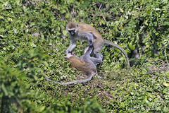 Cercopitechi verdi (Chlorocebus pygerythrus), Vervet Monkeys (Chlorocebus pygerythrus) (paolo.gislimberti) Tags: tanzania lagonatron lakenatron africanmammals mammiferiafricani africanparks parchiafricani scimmie monkeys animalbehavior comportamentoanimale gioco play animaliambientati animalsintheirenvironments bush safarifotografico photographicsafari