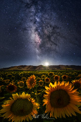 Moonflower (rootswalker) Tags: nightphotography astro sunflowers moonlight gilroy agriculture moonset moonflowers milkyway nikond800