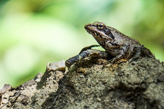 frog sony nex 3n (faio33) Tags: frog sony nex3n sonynex3n 55210 sel