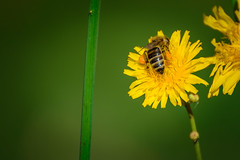 Hug... (Francizc Chachula) Tags: nikon d7200 7003000mm nikkor macro closeup flower yellow green nature natural bee insect composition bokeh focus sharp august 2016 plant