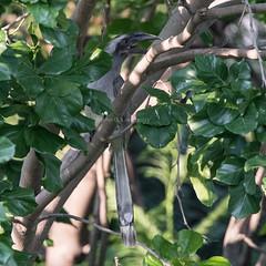 Indian Grey Hornbill (Ocyceros birostris) (mesquakie8) Tags: bird hornbill sittingonatreebranch indiangreyhornbill ocycerosbirostris igho tridenthotelinjaipur amer jaipur jaipurcounty rajasthan india 9800