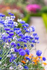 Cornflowers - West Dean Gardens (Zo Power) Tags: chichester westdeangardens blue cornflowers summer westsussex