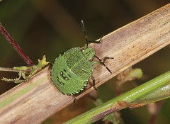 Common Green Shieldbug Fourth Instar Nymph (Prank F) Tags: cambourne wildlifetrust cambsuk wildlife nature insect macro closeup bug shieldbug instar nymph fourth 4th common green palomenaprasina