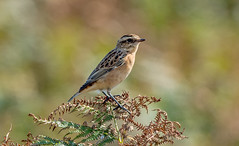 DSC8768  Whinchat.. (jefflack Wildlife&Nature) Tags: whinchat chats birds avian wildlife wildbirds coastalbirds countryside moorland mountain songbirds nature