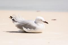 Sand in the wind 710_7407.jpg (Mobile Lynn) Tags: gull silvergull birds nature hamiltonisland queensland australia au