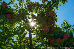 Sunrays in Apple Tree (Venish Joe) Tags: venish venishjoe apple tree appletree sun sunray riamedefarm chester newjersey nj farm