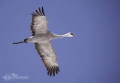 DSC_0009s (mikeyasp) Tags: birds avian nature outdoors nebraska sandhillcranes gruscanadensis cranes inflight