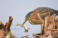 Green Heron, Ballona Freshwater Marsh (Junco & roBin) Tags: greenheron feeding ballonafreshwatermarsh birdwatching losangelescounty california