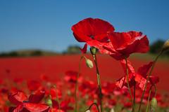 Poppy Landscape (RyanMorris_Photography) Tags: elements poppy poppyfield flower