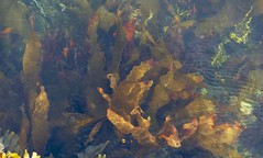 in deep water (Edinburgh Nette ... off for a wile) Tags: seaweed abstracts mull september16 sea water