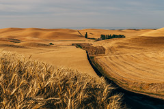 Gluten Fields Forever (Pedalhead'71) Tags: wheat washington wheatfield colfax unitedstates us whitmancounty palouse landscape road rural
