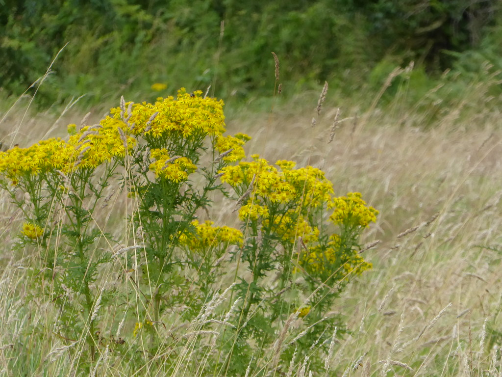 The Worlds Best Photos Of Ragwort And Westmeath Flickr Hive Mind