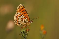 Melitaea deione (5) (JoseDelgar) Tags: josedelgar insecto mariposa melitaeadeione 1001nights 1001nightsmagiccity contactgroups sunrays5 coth5