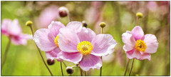 160826-1 (sz227) Tags: freitagsblume blte blumentag blume blten flowers anemone sz227 zackl sony sonyslt58