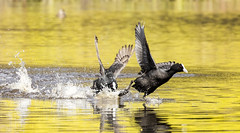 get out of my pond...now! (Allan Lance) Tags: eurasiancoot coot bordertown southaustralia ajl