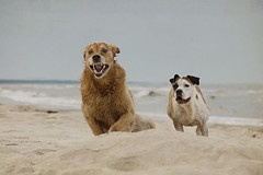 35/52 craziness rules (Jutta Bauer) Tags: 52weeksfordogs 52weeksforalbert 3552 albert almightyalbert dog goldenretriever running playing
