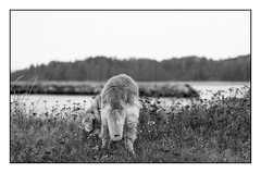 By the Sea (Eline Lyng) Tags: outdoor seaside coastline water nature landscape norway dog pet animal canine golden retriever goldenretriever nick leica leicas 007 70mm summarits70mm mediumformat bw blackandwhite monochrome bokeh dof flowers tail littledoglaughedstories littledoglaughednoiret