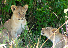 Lion Cubs, Masai Mara, Kenya, Africa (Amethinah) Tags: 2012 africa kenya masaimara maasaimara lion lioncubs