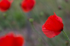 cliche (Fotogezwitscher) Tags: poppy flower red color beautiful macro field nature meadow organic contrast