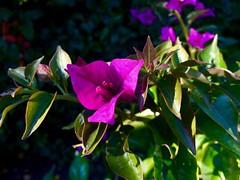 .                         September morning. (janeric2014) Tags:  bougainvilleaglabra bougainvillea hellas greece kreta crete