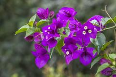 Bougainvillea (curazao, veranera) (PriscillaBurcher) Tags: bougainvillea buganvilia buganvilla bugambilia curazao veranera l1170518